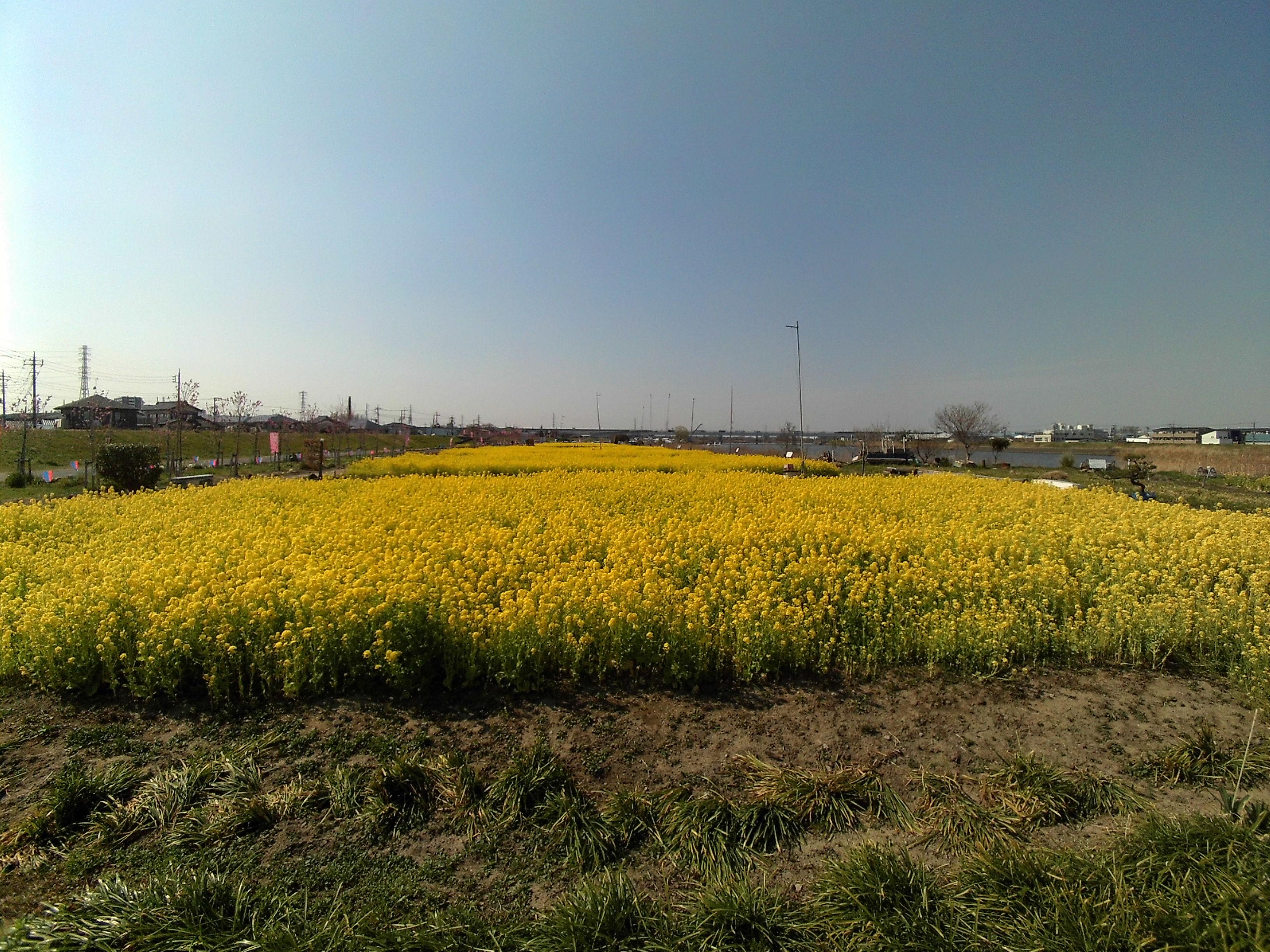 中川やしおフラワーパークの菜の花畑