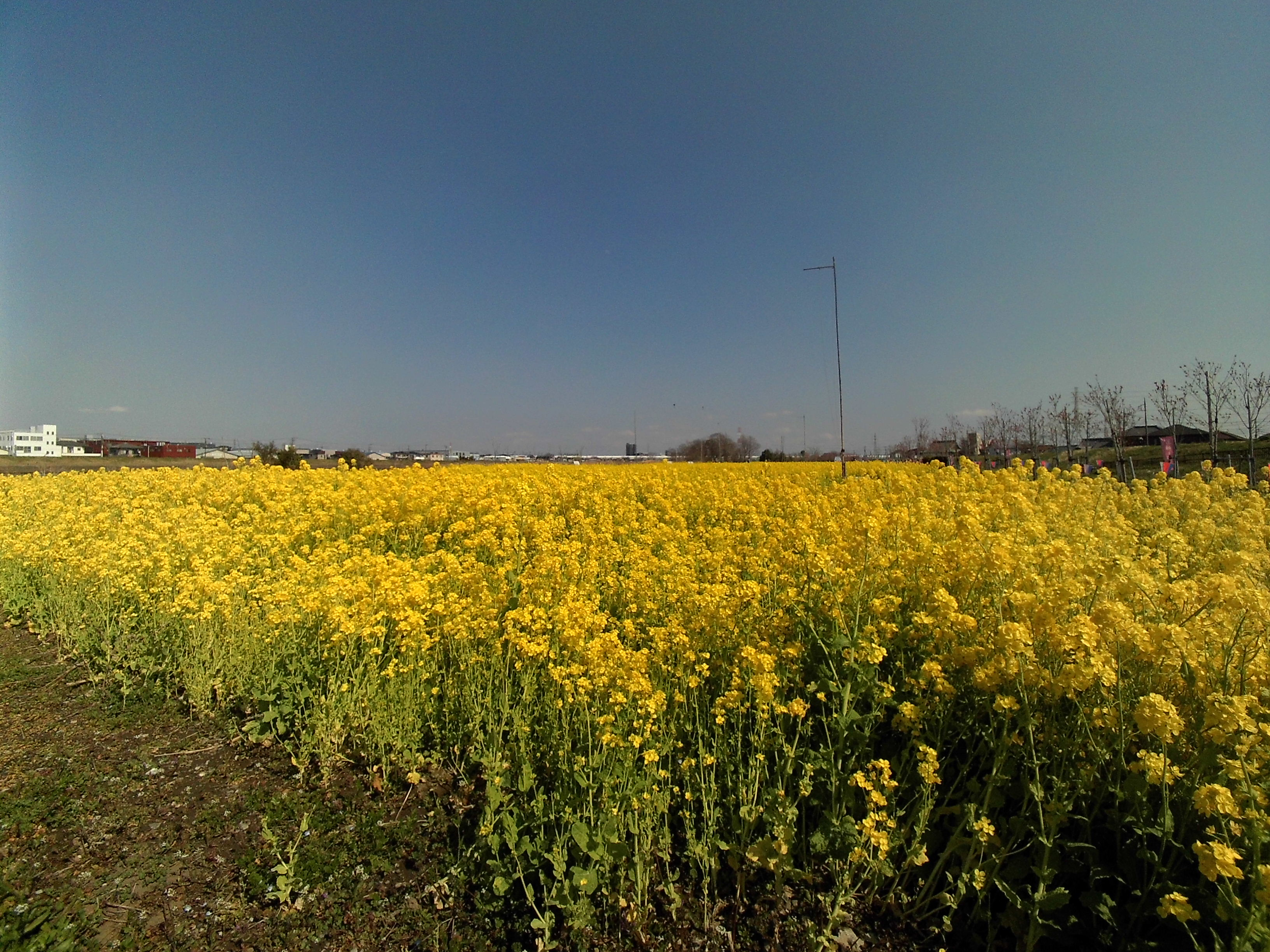 中川やしおフラワーパークの菜の花畑1