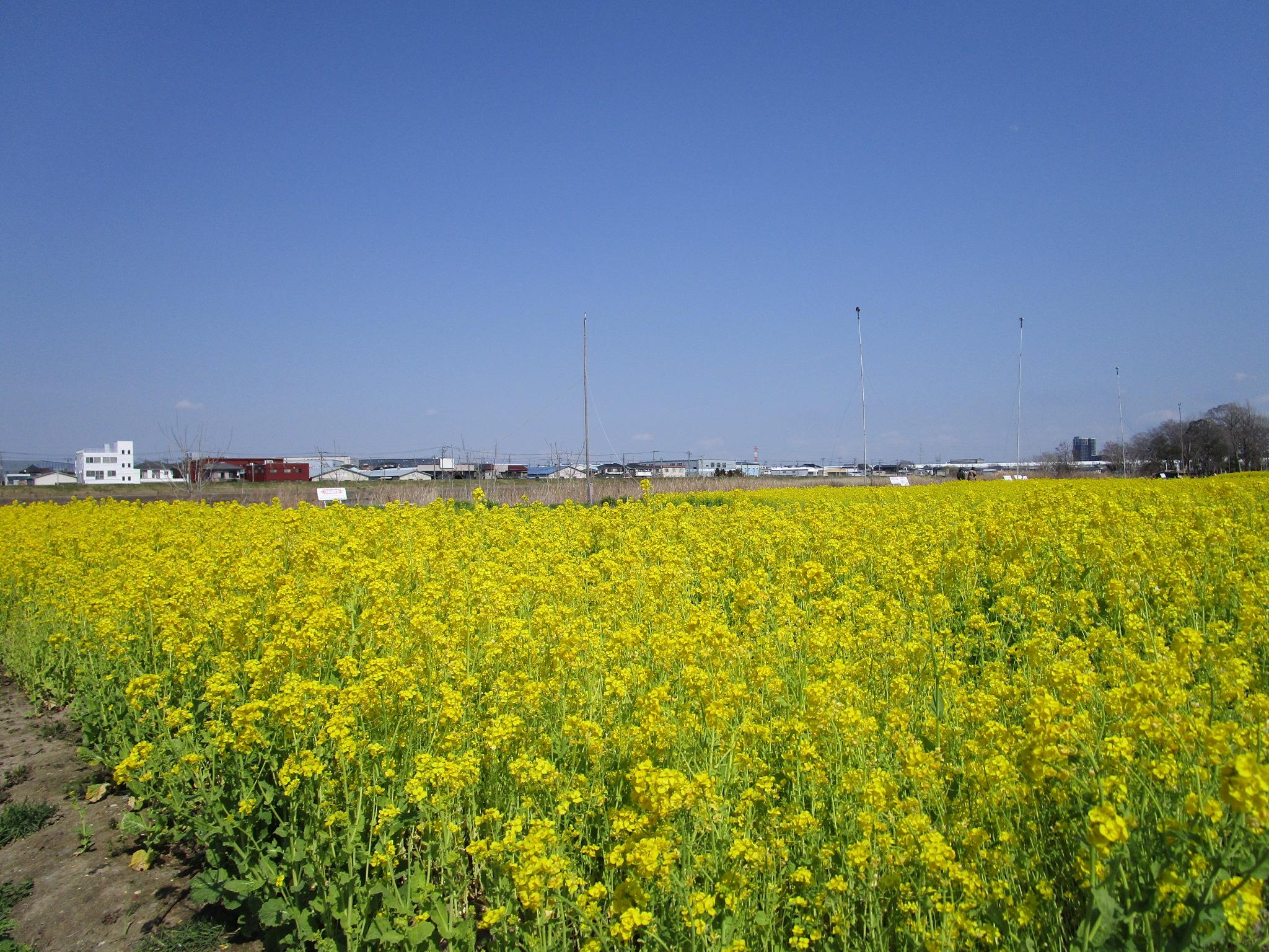 中川やしおフラワーパークの菜の花2