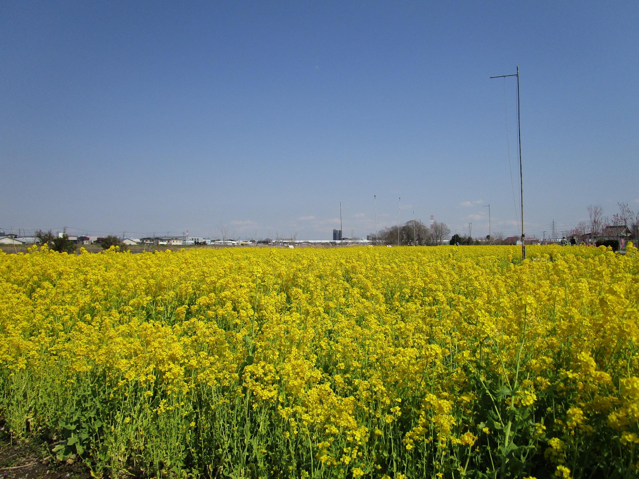 中川やしおフラワーパークの菜の花1