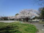 入谷中郷公園のさくら