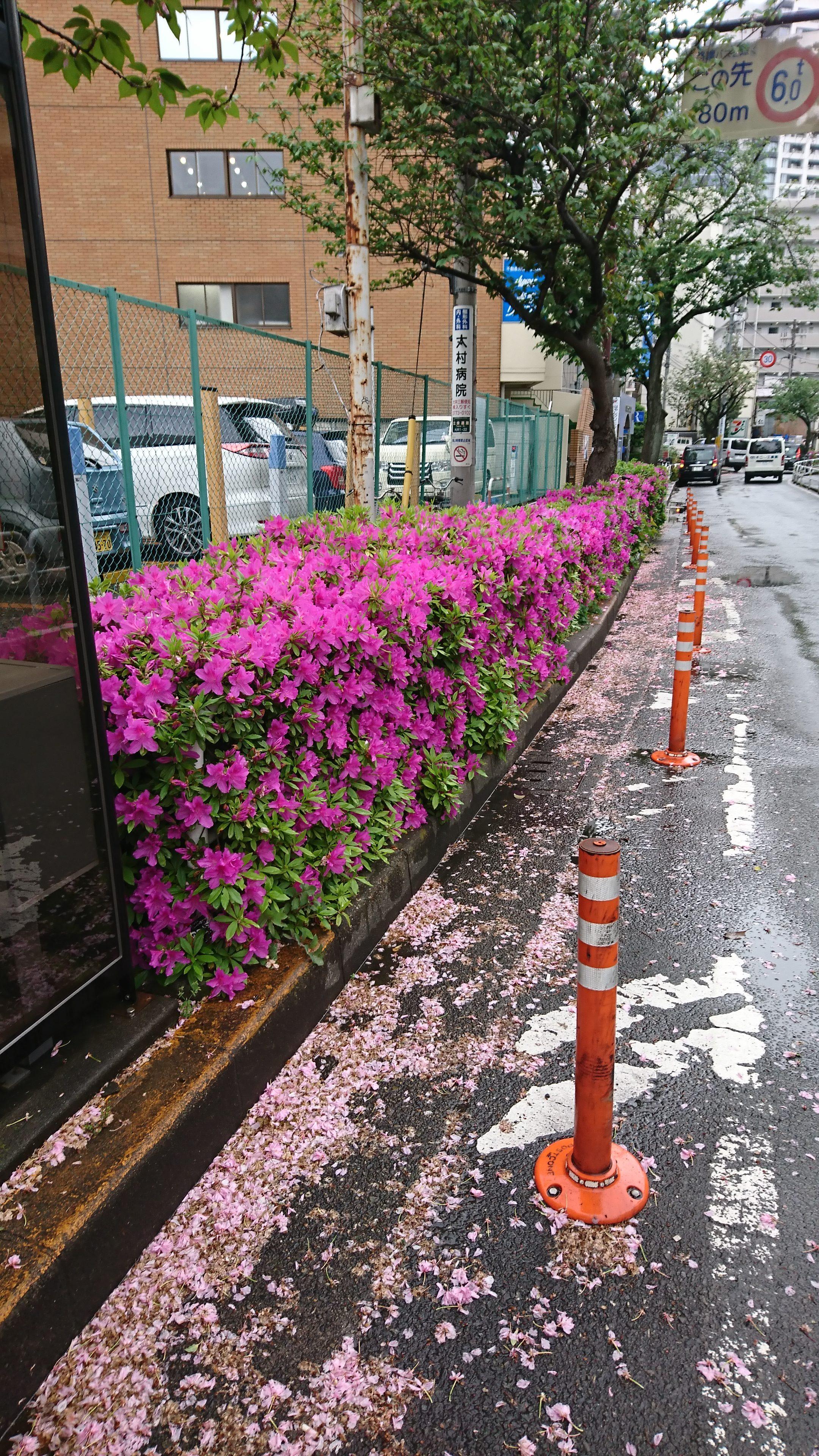 ツツジと八重桜