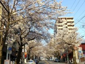 桜:鷺沼「春待坂」2