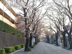 桜:あざみ野桜通り